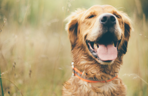 Happy golden retriever in field
